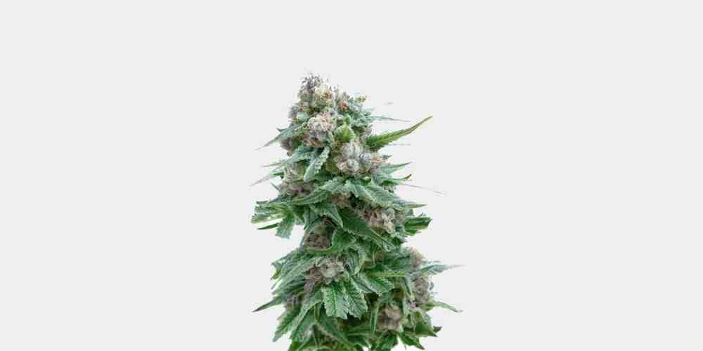 Quel taux de CBD Choisir fleur ?